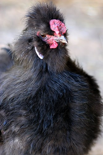 Ferdinand the silkie rooster
