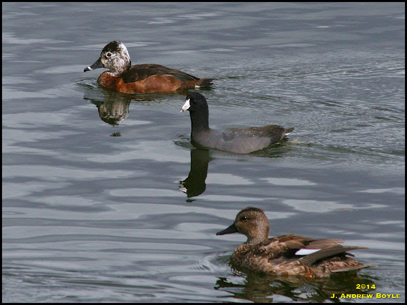 Gadwall, American Coot, and Ring-necked Duck