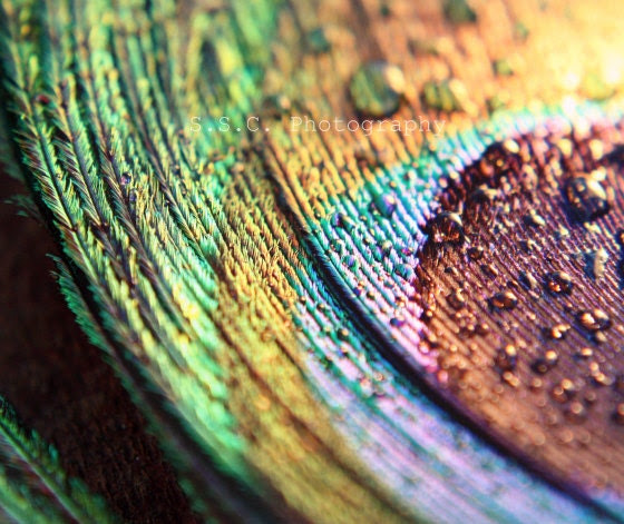 """Peacock Feather Photo. Macro Photo. """"Pretty Peacock"""" 8.5x11 inch photo. Colorful. Gold. Green. Blue. Purple. Waterdrop. Raindrops. Abstract"""