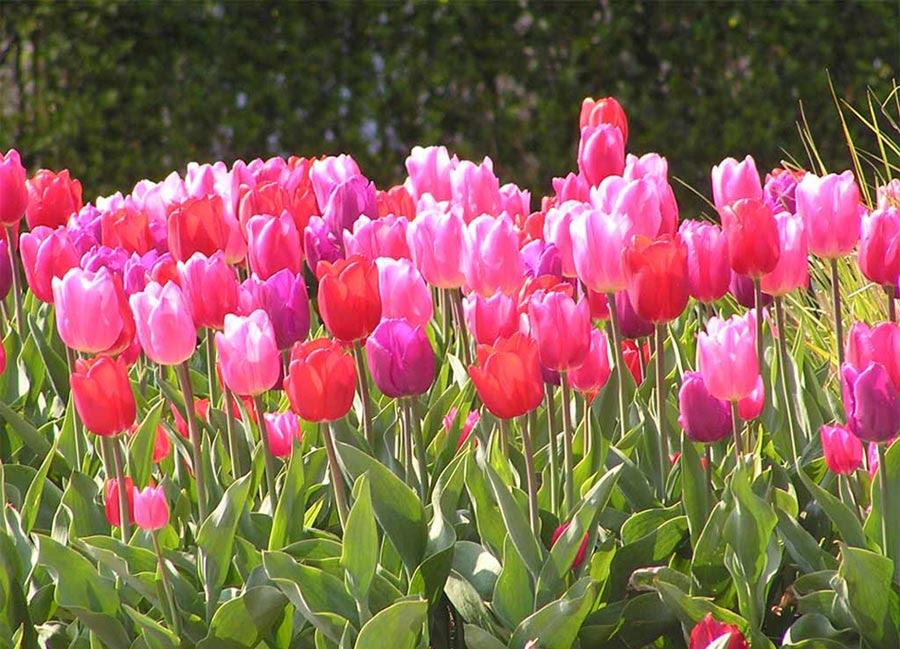 http://flores.florpedia.com/images/tulipanes-imagenes.jpg?phpMyAdmin=RTRRHfA2I9v%2CQw0gg%2CdyQfi11e6