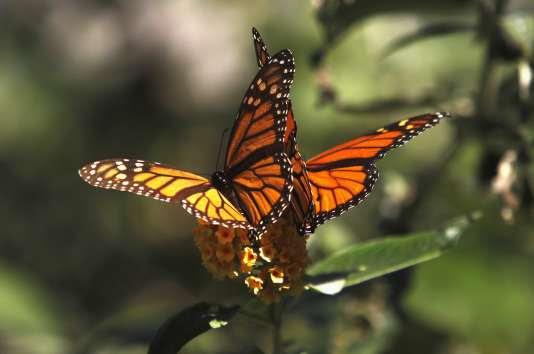 Un monarque, papillon migrateur, en Californie, en 2014.