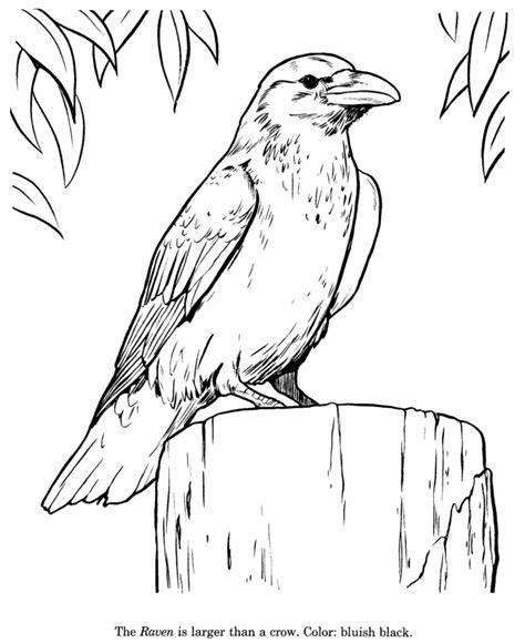 raven bird google search  drawings  literacy