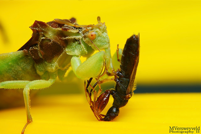 ambush bug with prey 5966209388_f5a024f345_b