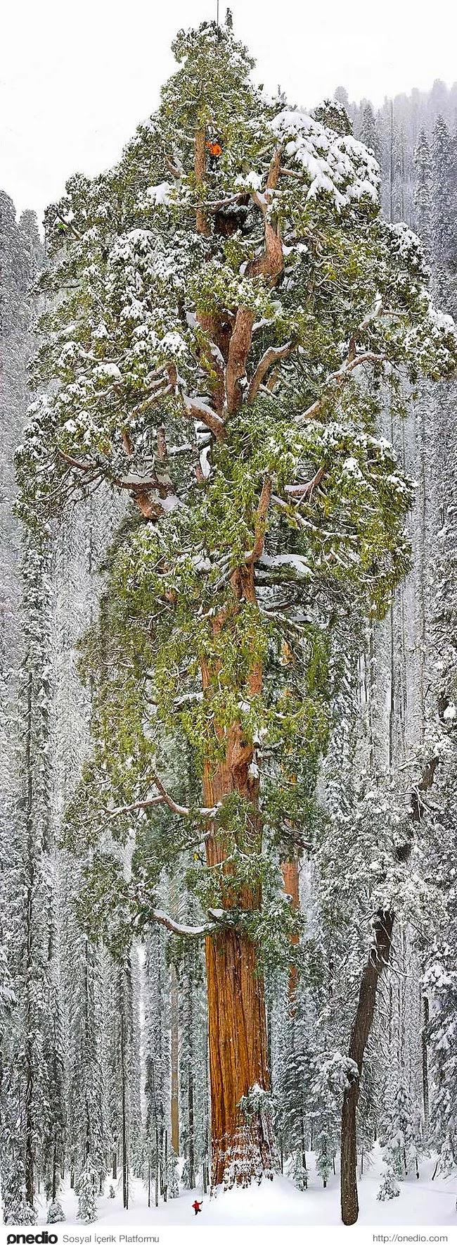 6. Dünyanın en büyük sekoya ağaçlarından biri Kaliforniya'da bulunuyor.