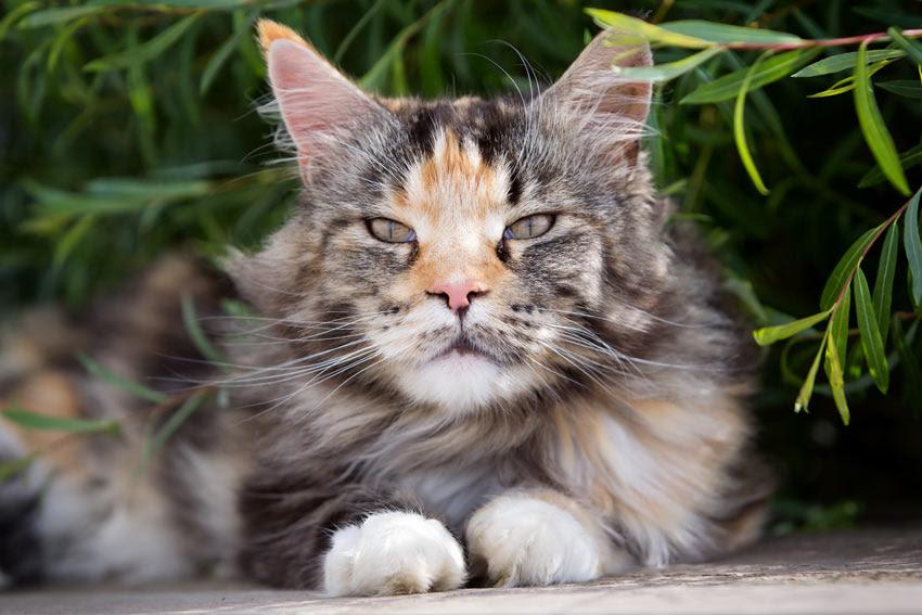 10 Popular Fluffy Cat Breeds Paw Precious