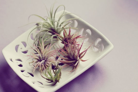 Small Air Plant // Solo Plant tiny and cute