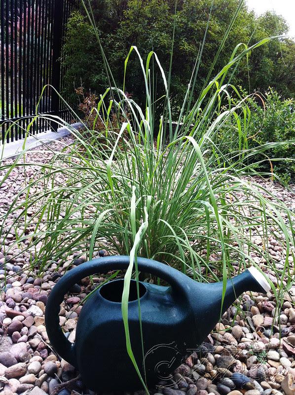IMG_9693 Plume Grass