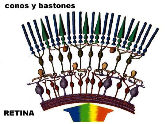 En este esquema de la retina se aprecia la disposición de los conos y bastones. Adaptada de www2.gasou.edu