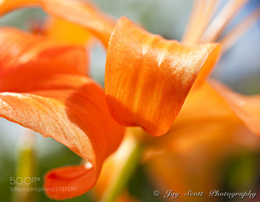 More Orange Curls by Jay Scott (jayscottphotography) on 500px.com