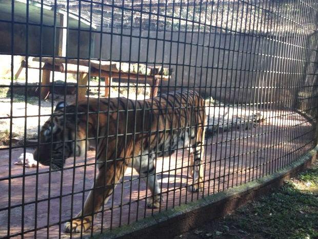 O tigre é dócil desde que tenha o espaço dele respeitado, segundo o veterinário Valmor Passos  (Foto: Franciele John / G1)