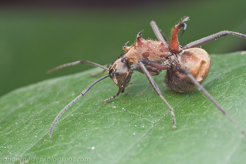 fish hook ant, Polyrhachis ant. IMG_8714 copy