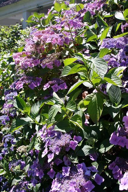 Hydrangeas, Howell Territorial Park