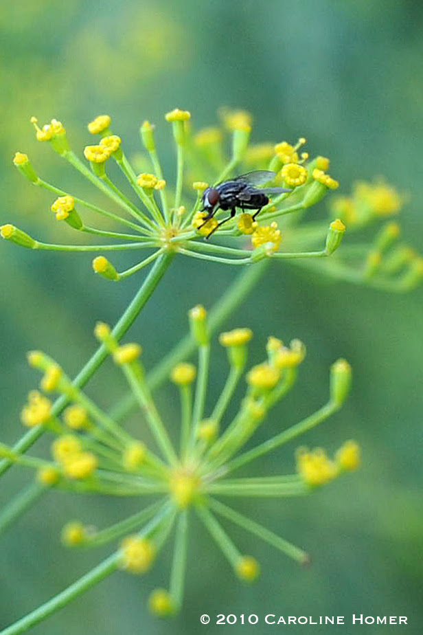 Fly on dill flower