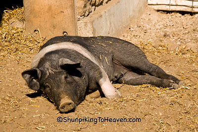 Pig Resting in the Barnyard, Franklin County, Iowa