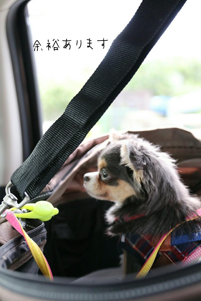 車酔い克服への道 たかシェフのおうちごはんと白い犬とチワワ