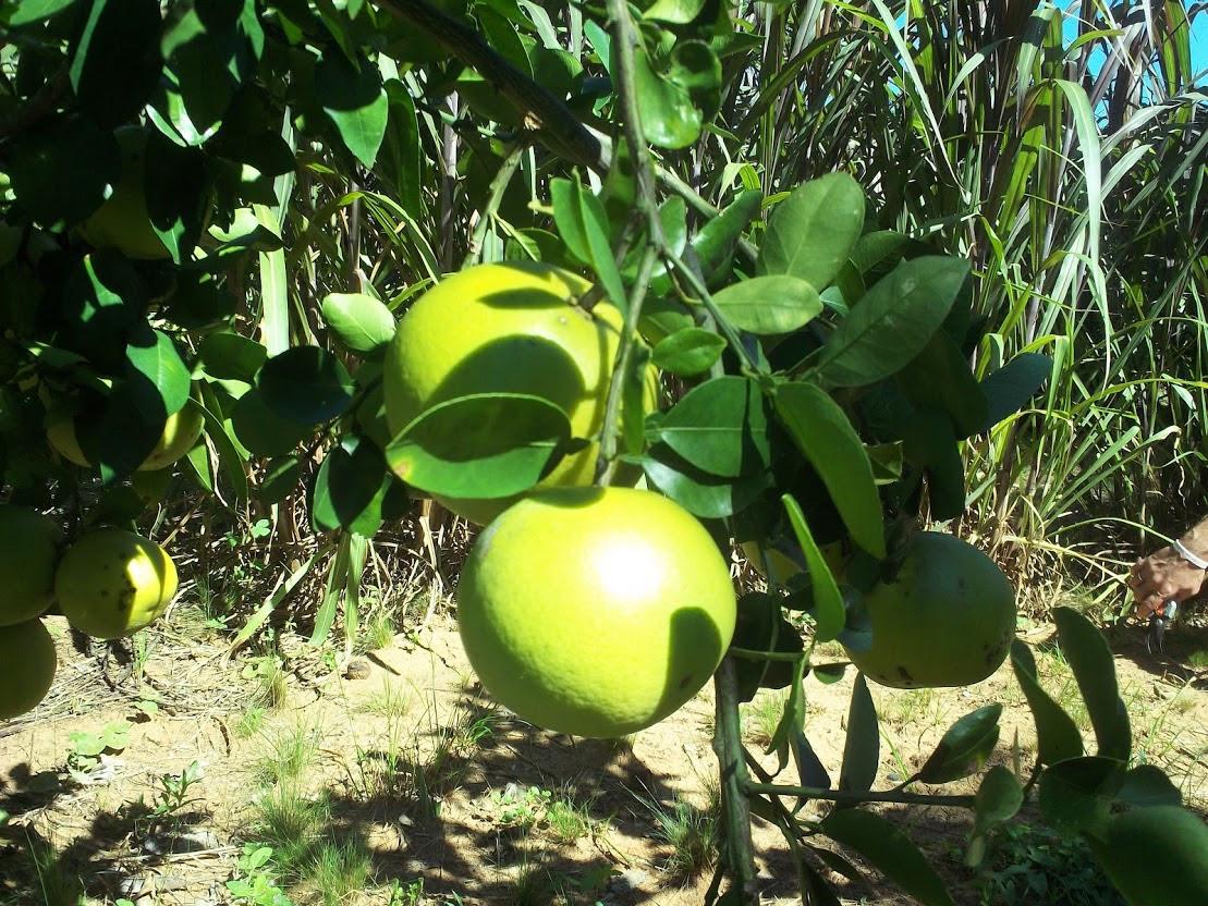 http://theparenttreefarm.com/wp-content/uploads/2012/05/Orangen-1-Monat-vor-der-Ernte.jpg