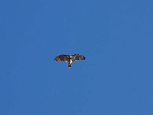 Juvenile Red-Tail Over Riverside Drive