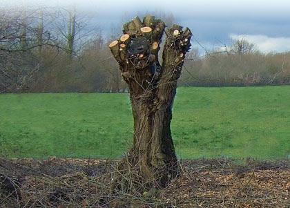 Risultati immagini per capitozzatura alberi