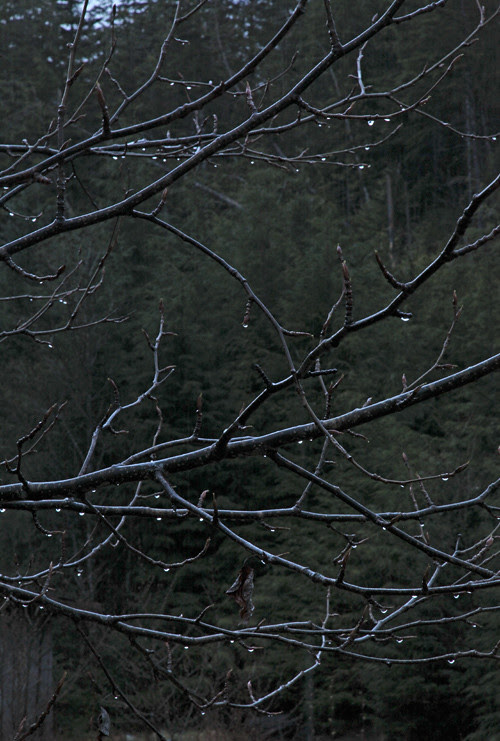 rain drops on tree branches, Kasaan, Alaska