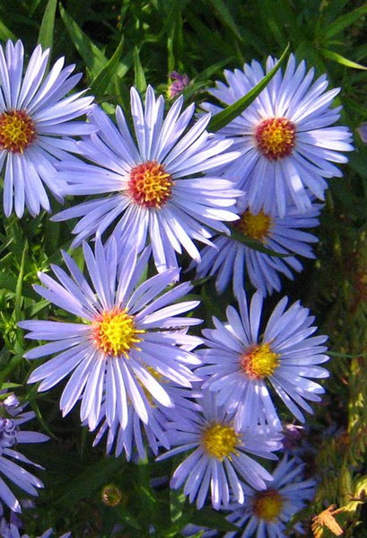 File:Michaelmas daisy (Aster lanceolatus x novi-belgii) - geograph.org.uk - 1522705.jpg