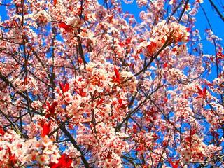 Cherry Blossoms, Allamuchy NJ 2