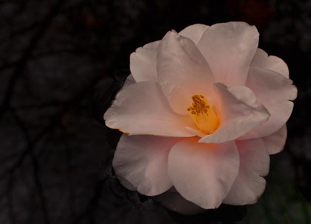 Camellia japonica 'Magnoliaeflora'