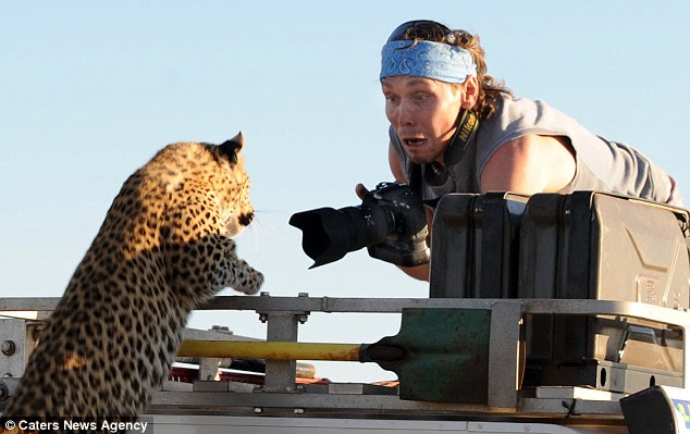 Shock and awe: Fear is etched on the face of photographer Sergey Kotelnikov as the young leopard leaps on to the roof of his vehicle