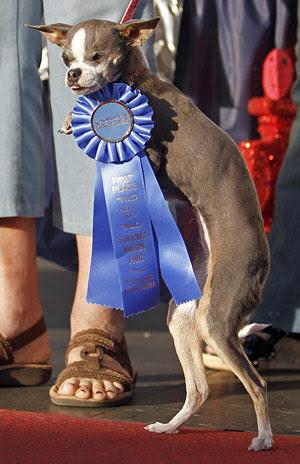 Chihuahua é considerada o cão mais feio do mundo.