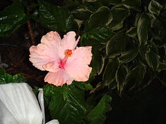 Hibiscus #3 produced a salmon or light pink colored bloom today!