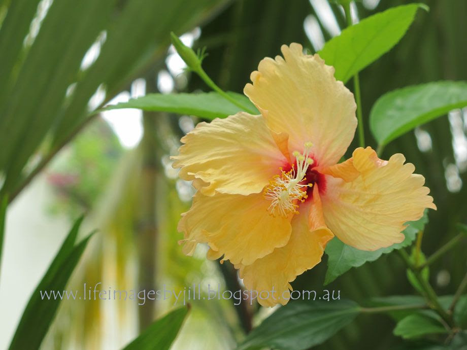 13 October 2014 photo Penang-hibiscus-IMG_4745_zpse3cb6967.jpg