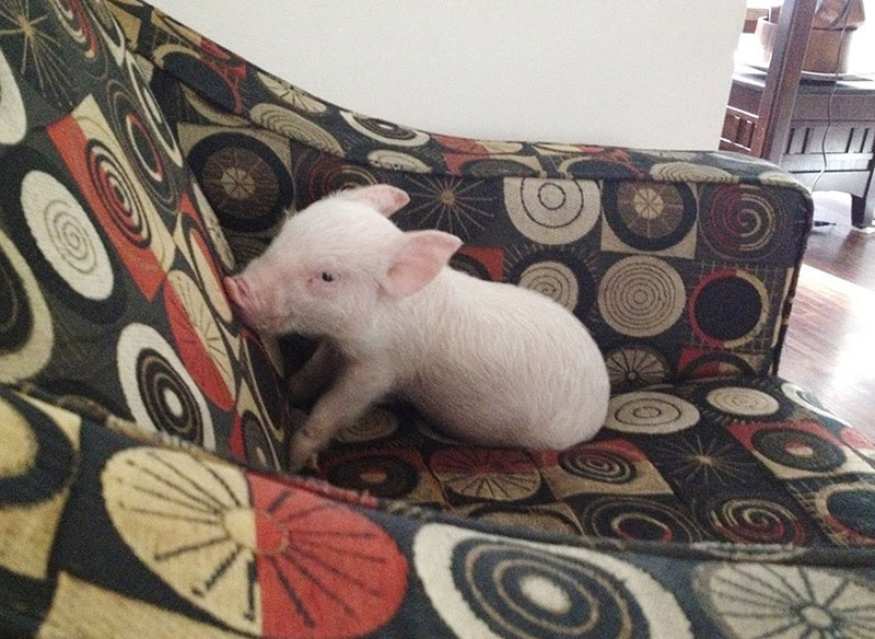 micro pig turned out big pig