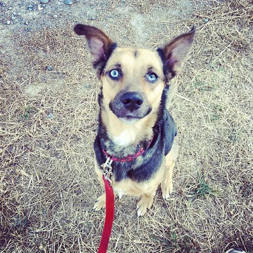 Ears #dogs