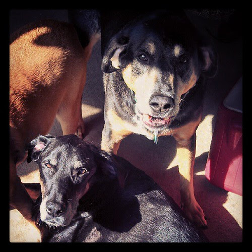 Tut & Lola sharing the morning sun spot #dogstagram #dobermanmix #coonhoundmix #sun