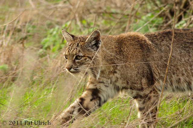 Bobcat in stride, Tennessee Valley - Pat Ulrich Wildlife Photography