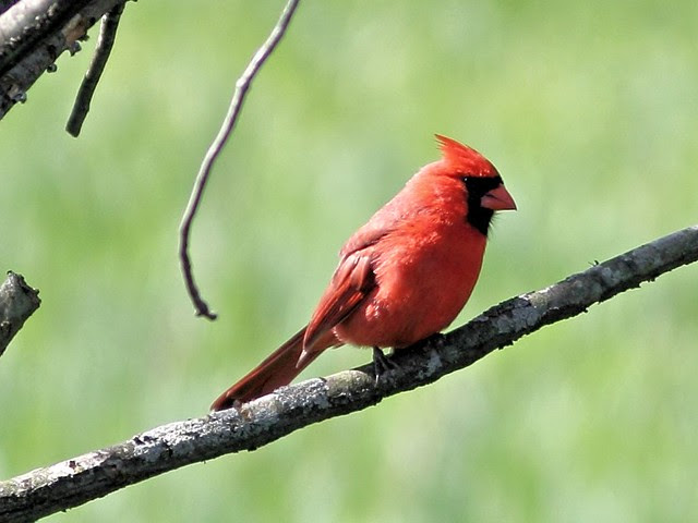 Northern Cardinal 20130513
