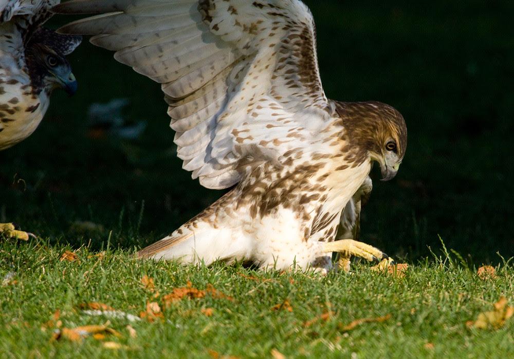 HawksPlay