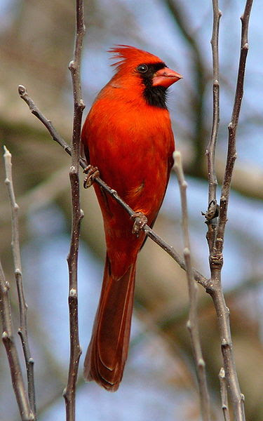 Bird Of The Month The Northern Cardinal The Toast