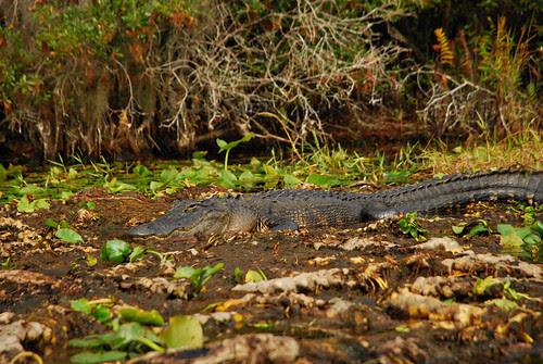 Swamp Gator {Explored 11/19/2013}