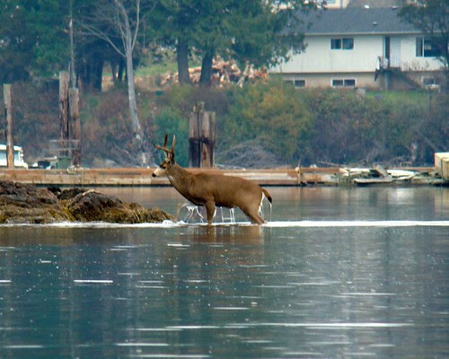 Deer Coming Out of the Water 1