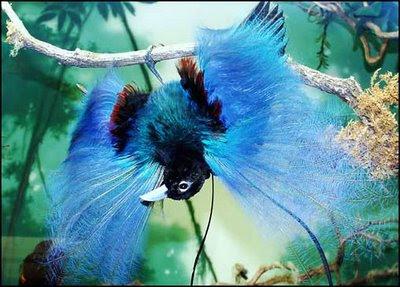 http://wyatthough.files.wordpress.com/2009/04/blue-bird-of-paradise.jpg