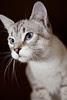 Silver Tabby Cat Finnegan