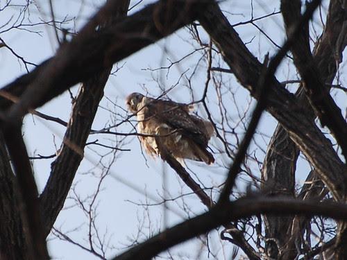 Highbridge Hawk