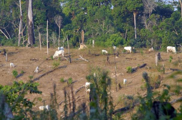 Pecuária é a atividade com maior presença entre desmatadores que estão na 'lista suja' (Foto: Verena Glass)