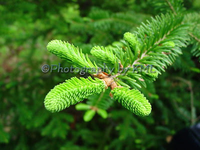 new spring growth on a blue spruce pine tree