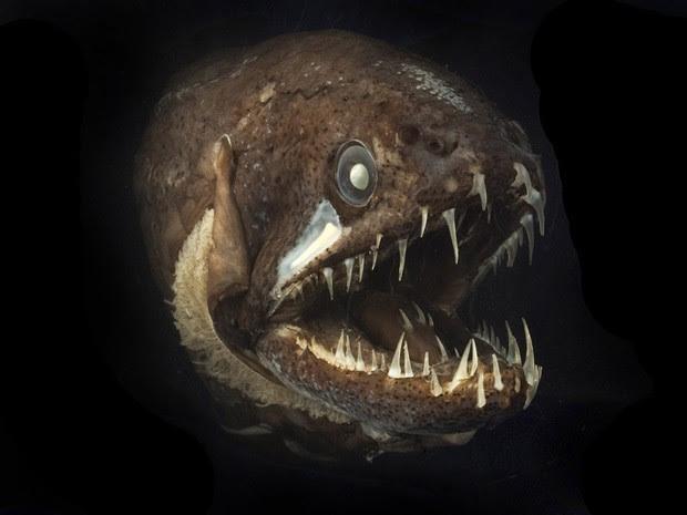 Exemplar de peixe-dragão vive regiões abissais nos oceanos (Foto: Divulgação/Dr. Julian Finn/Museum Victoria)
