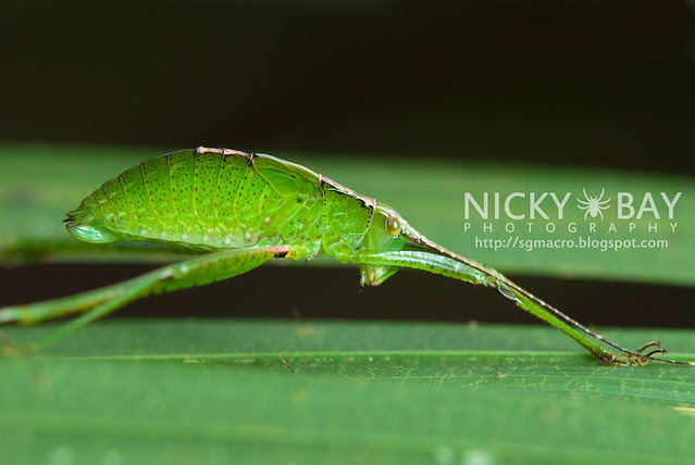 Katydid (Tettigoniidae) - DSC_4335