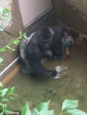 Witnesses saidthe gorilla looked like he was trying to protect the boy from panicked bystanders (pictured)