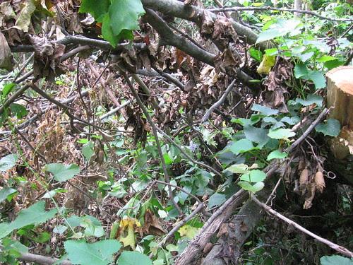 Dead Tree and Live Grape Vine