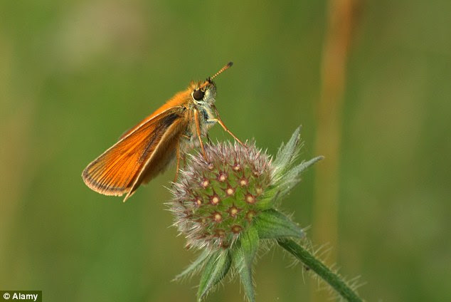 The deterioration of suitable habitats due to agricultural intensification and changing woodland management are seen as major causes of the decline. Pictured, the Essex Skipper