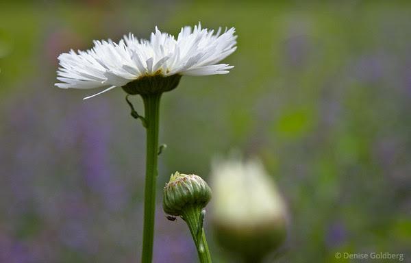 petals or frills?